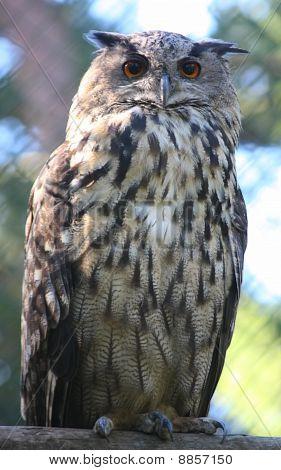 Big Eagle-Owl