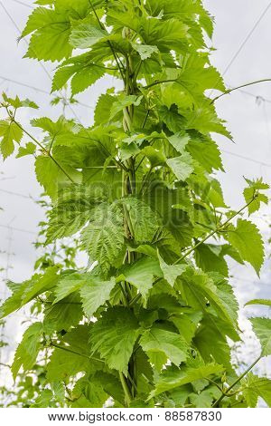 Branches Of Hops