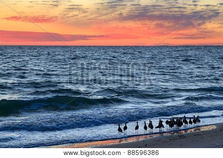 A group of willets a sandpiper type of shore bird wades in the surf at sundown on Florida's Gulf Coast at Sanibel Island. poster