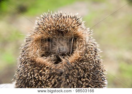 Hedgehog Curled. Seen Sharp Spikes Hedgehog.