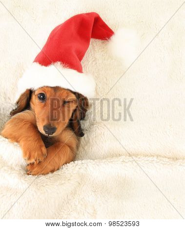 Longhair dachshund puppy, wearing a Christmas Santa hat,  in bed, winking.
