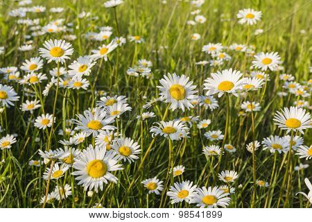 Blooming Flowers In The Meadow