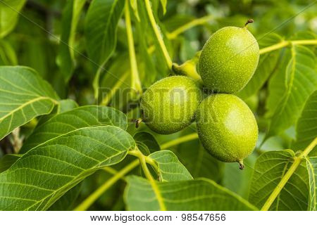 Three Green Fruits Walnut