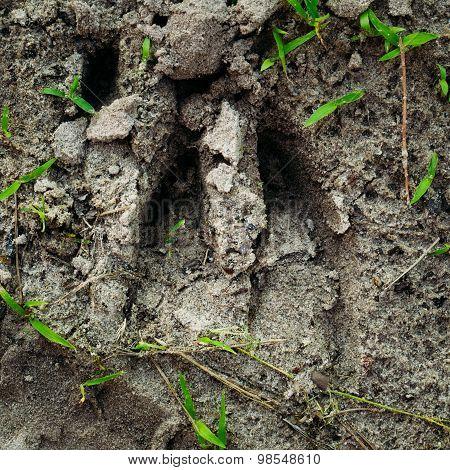 Wild Boar Track, Footprint Step On Forest Ground