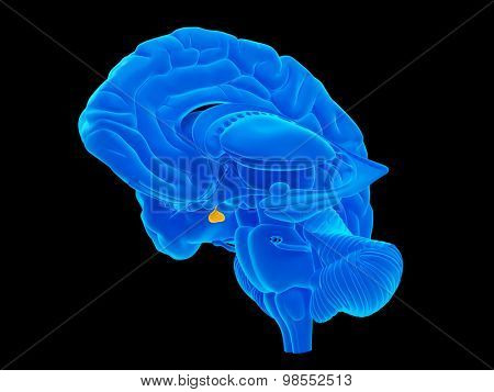 medically accurate illustration of the pituitary gland
