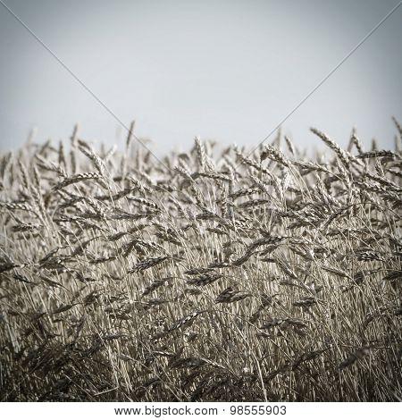 Wheat ears on a blurred background.