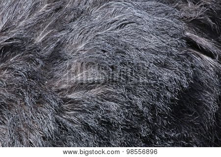 Ostrich (Struthio camelus) plumage texture. Wild life animal.