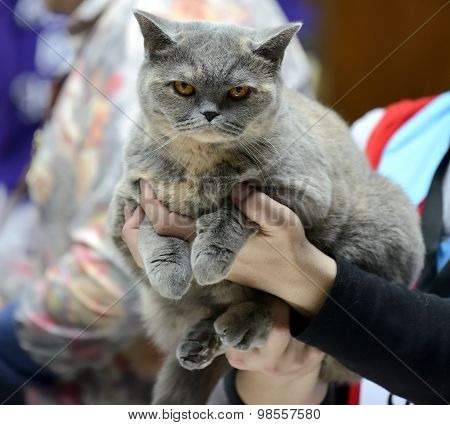 Blue Tortie British Shorthair cat being held at cat show