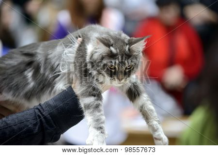 Silver Classic Tabby and White Maine Coon cat being held at cat show