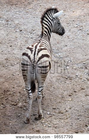 Burchell's zebra (Equus quagga burchellii), also known as the Damara zebra. Wild life animal.