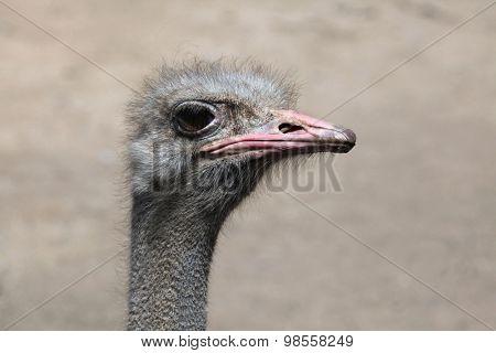 Ostrich (Struthio camelus). Wild life animal.