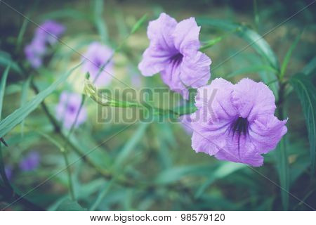 Purple Flowers Or Ruellia Tuberosa Linn, Toi Ting (thai Name).