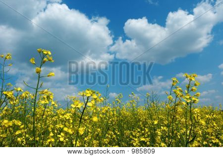 Colza Field In Bloom