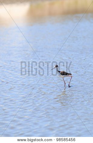 Black-necked stilt bird