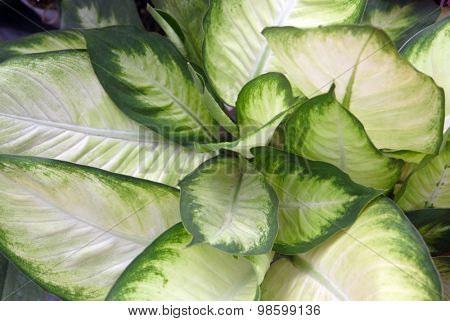 Texture of a tropical green leaf as background