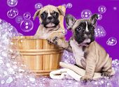 French bulldog puppies  in wooden wash basin with soap suds poster