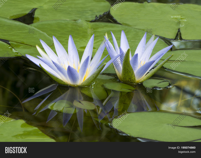 Blue lotus egypt image photo free trial bigstock blue lotus of egypt nymphaea caerulea waterlilies with reflection izmirmasajfo