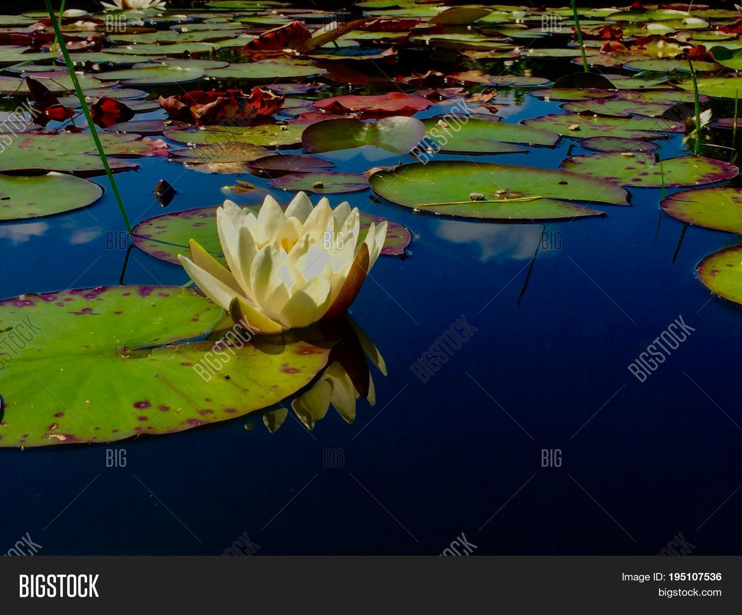 Lotus flower meaning image photo free trial bigstock the lotus flower is the meaning of peace izmirmasajfo