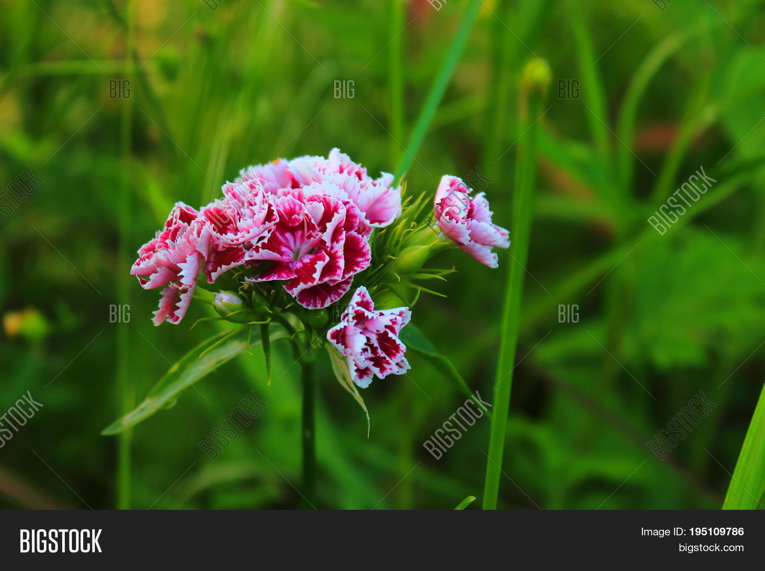 Carnation On Meadow Image Photo Free Trial Bigstock