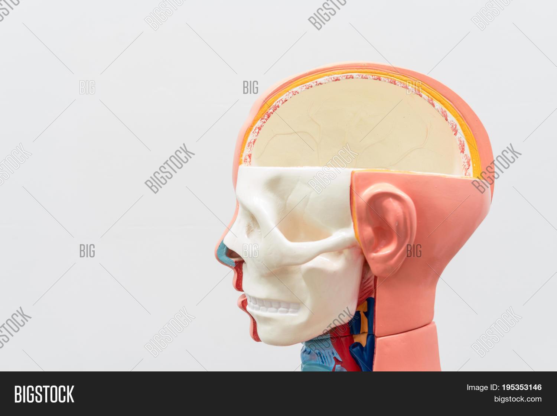 Close Internal Organs Image Photo Free Trial Bigstock