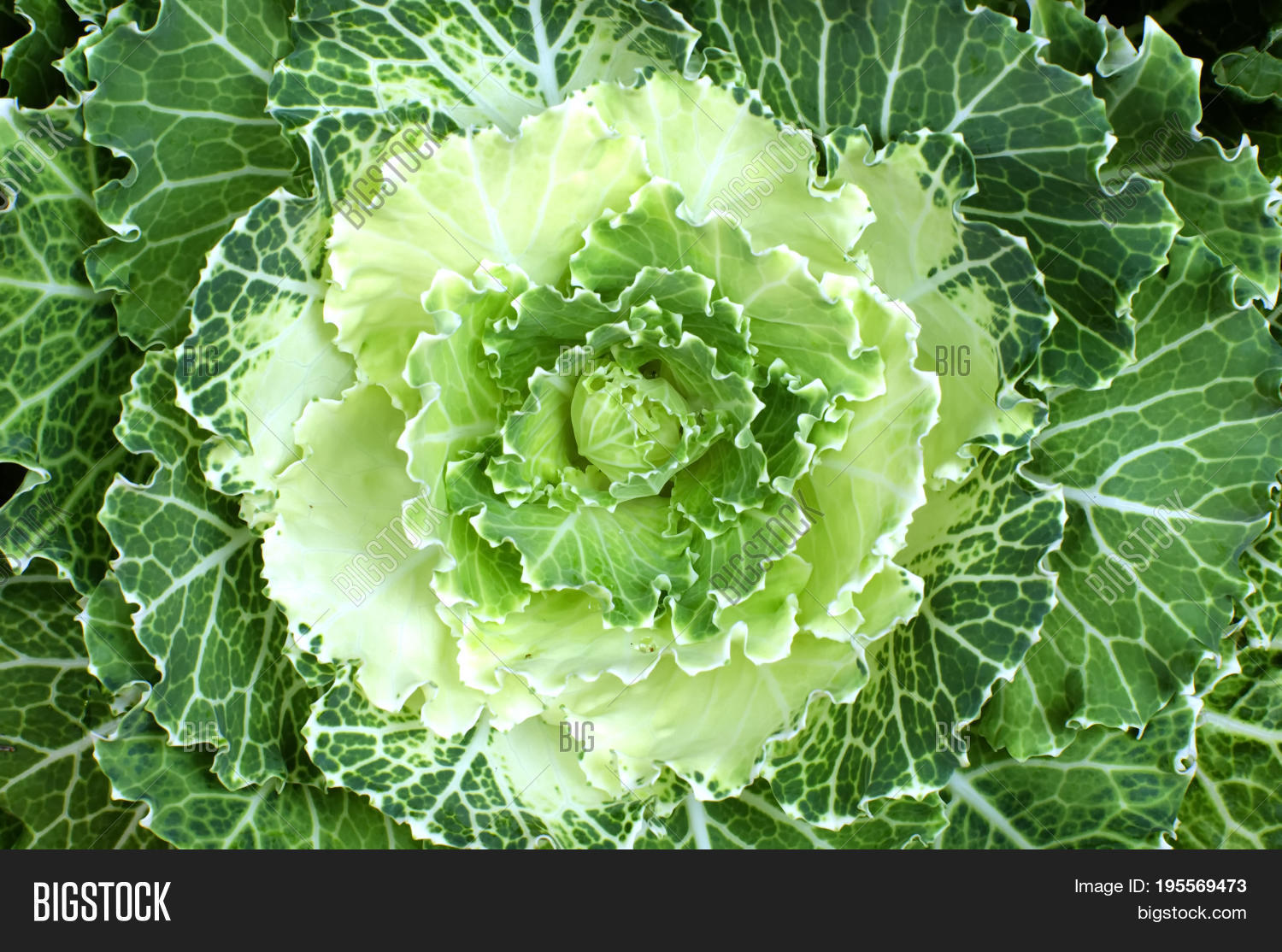 Cabbage Leaves That Image Photo Free Trial Bigstock