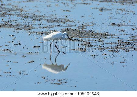 Chinese Egret Egretta Eulophotes.