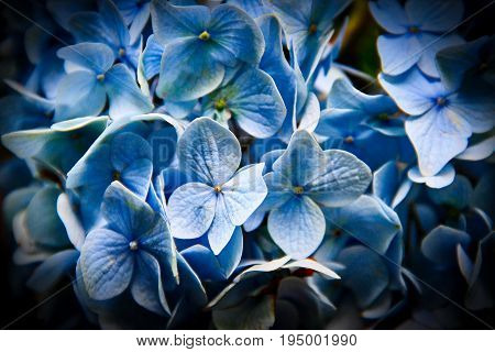 Close up of blue flowers with a black vignette.