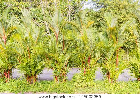 Beautiful clumping lipstick palm or Cyrtostachys renda can be used as boundary wall or any landscape fence