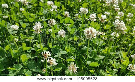 Close up of white clover in a summer meadow