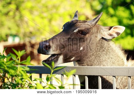 The portrait antelope nilgai or blue bull