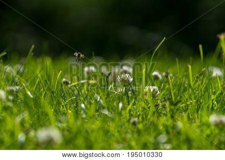Close up of wild bee in mid-air next to a clover flower. Summer garden shot background.
