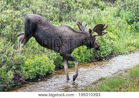 Moose in a Stream.  Shiras moose are wild animals in the Rocky Mountains of Colorado