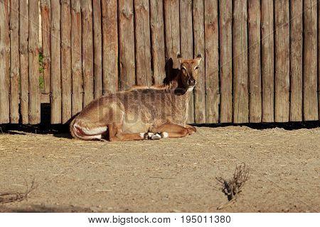 Nilgai or blue bull lies near a wooden fence