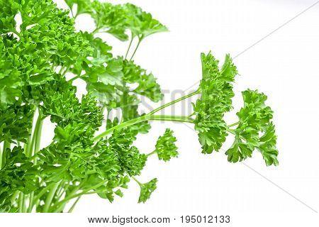 fresh green parsley leafs studio isolated closeup