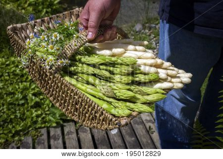 Fresh raw white and green asparagus as close-up in a basket in hands of a man