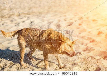 Labrador retriever dog on beach. Dog on the sand near the river. Red Labrador Shakes Off Water. Sun flare
