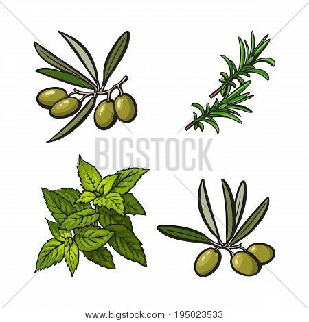 Olives, mint and rosemary herbs, spices, ingredients, sketch style vector illustration on white background. Realistic hand drawing of olives, mint and rosemary leaves