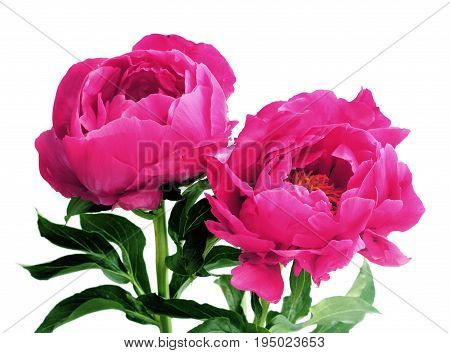 Three pink peonies isolated on white -