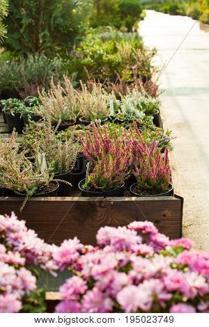 Flowers in pots at the greenhouse, garden market. Focus on the purple heather