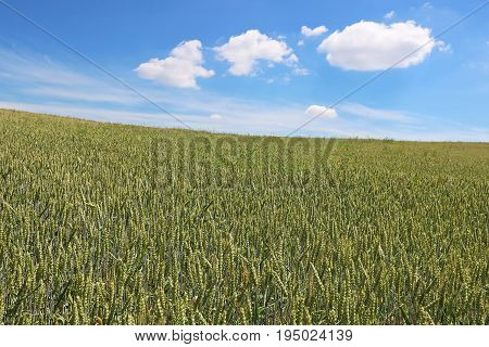 Green wheat field in the summer day