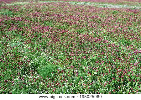 Field of clover purple, cultivated for medicinal purpose at Horka near Olomouc, Czech Republic, background