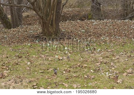 Vegetation Carpet Of Snowdrops In Floodplain Forest (galanthus Nivalis)