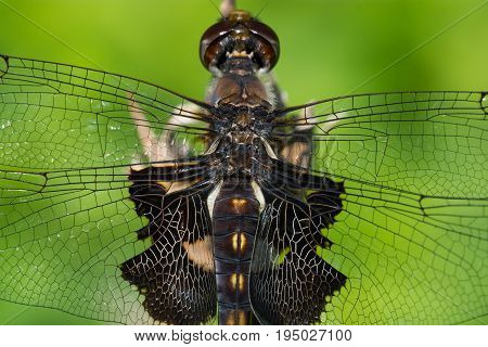 A macro photo of an immature Black Saddlebags dragonfly.