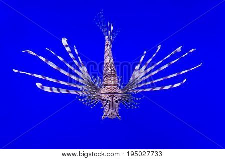 Lionfish with striped pattern on body swims underwater, diving, sealife, selective focus