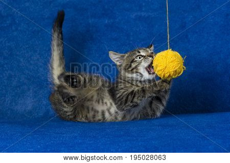 Kitty with yellow yarn ball, little grey tabby cat playing with skein of tangled sewing threads on blue background