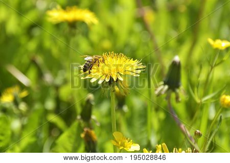 Dandelions and bee. Bumble Bee on dandelion flower in springtime. Collecting nectar