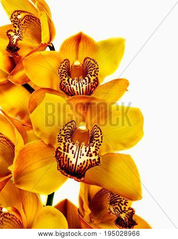 yellow orchid isolated on white background. Flower