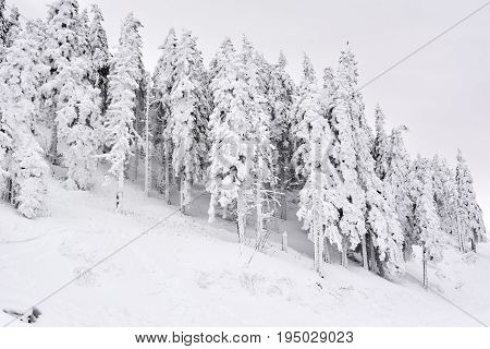 Winter Landscape With Fir Trees Forest Covered By Heavy Snow In Postavaru Mountain, Poiana Brasov Re