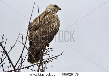 Common Buzzard (buteo Buteo) On A Tree.