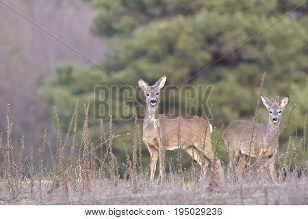 Beautiful young deer in forest (Cervidae). Roe deer (Capreolus capreolus) buck and doe in field. Small elegant deer in family Cervidae male with growing antlers still covered in velvet fur